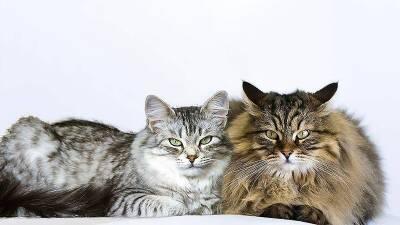 Коты и курица