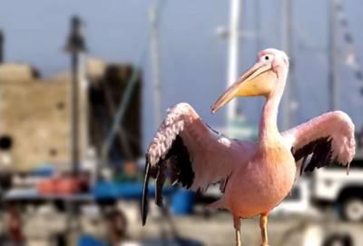 14 мая в гавани Пафоса дебютирует новый пеликан