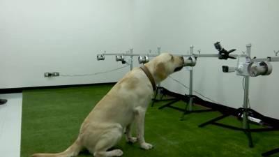 Тайские собаки-ищейки дебютировали в обнаружении заражения COVID-19