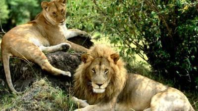 В Индии восемь львов заболели коронавирусом