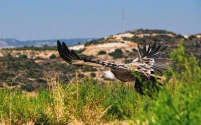 GPS-трекер отследил путешествие кипрского сипа