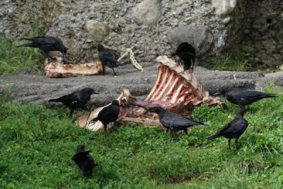 Со свалки в Никосии вороны растаскивает человеческие органы