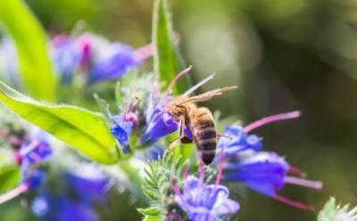 Цветок эхиум, любимец кипрских пчел