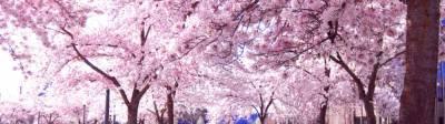 Японский вишневый парк в горной деревне Кампос тис Цакистра
