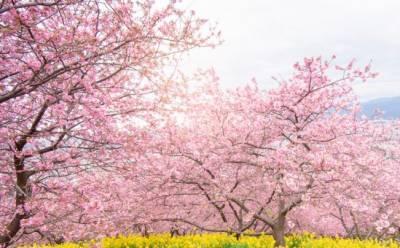 На Кипре появится японский сад сакуры