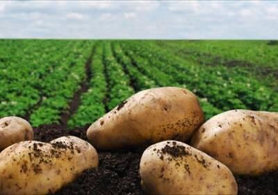 Кипр меньше всего вырастил картофеля в ЕС по по общим показателям за 2020 год
