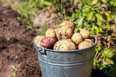 Кипр оказался на последней строчке в ЕС по количеству выращенного картофеля в 2020 году