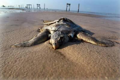 Первой жертвой сирийского нефтяного пятна на Кипра стала черепаха