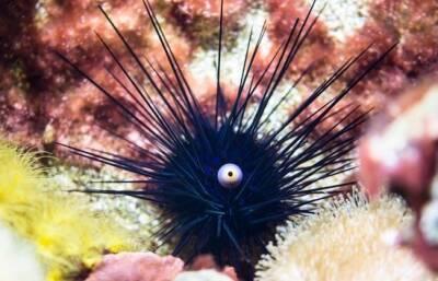 В водах Лачи обнаружили ядовитых морских ежей
